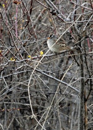The image shows a Gambel's white crowned sparrow in a tree.