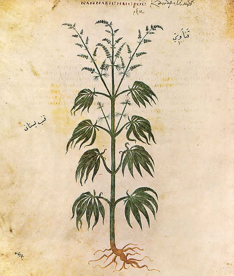 The image show a a drawing of a cannabis sativa plant.