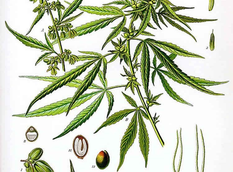 This image is an illustration of the cannabis sativa plant.