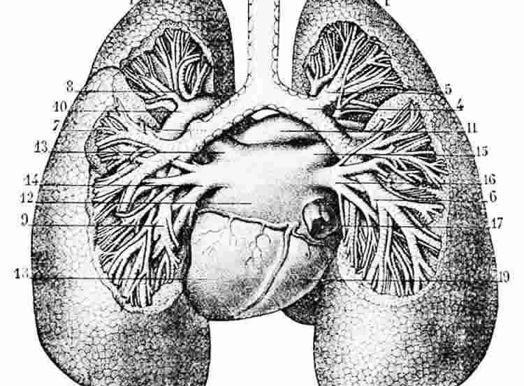 The image illustration of the bronchi and lungs of a man.