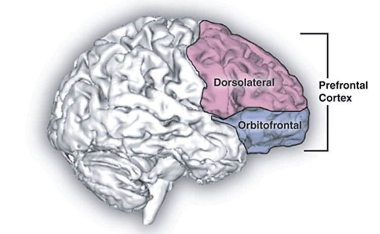 The image is a drawing of the brain with the prefrontal cortex highlighted.