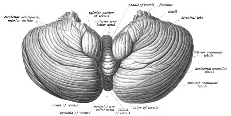 This image shows an illustration of the cerebellum viewed from below.