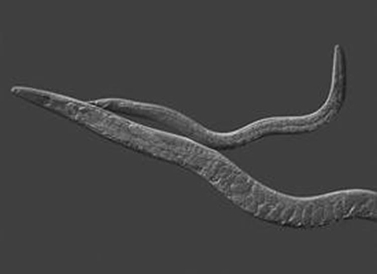 This image shows a male and hermaphrodite C. elegan.
