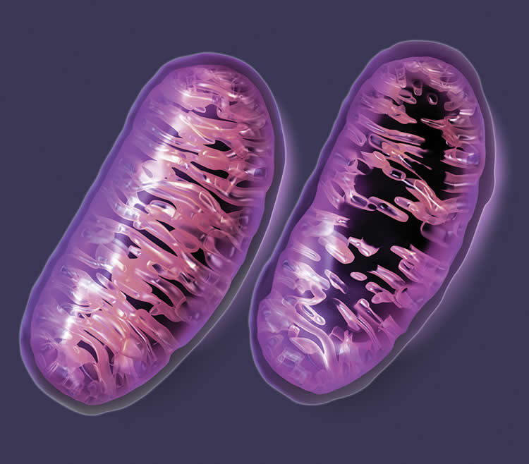 This image shows a graphic representation of mitochondria.