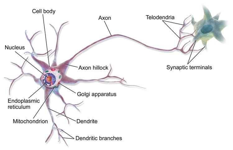 Neurons are computers the computational power of dendrites tom figure a components of a neuron 1 ccuart Choice Image