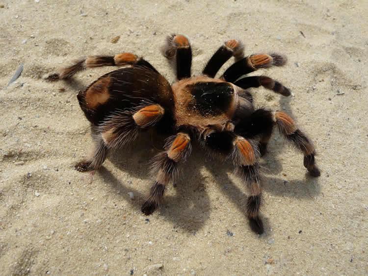 This image shows a tarantula spider.