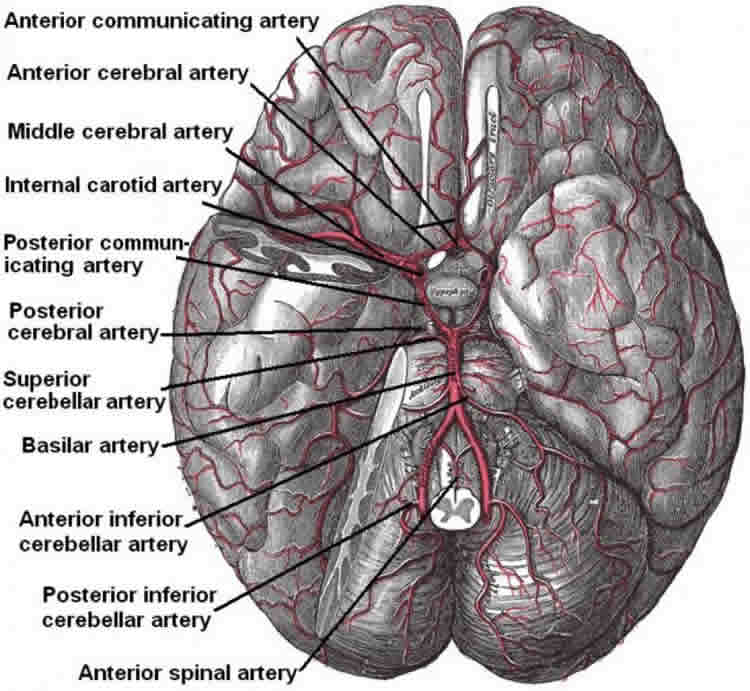 This image shows the brain blood supply system.
