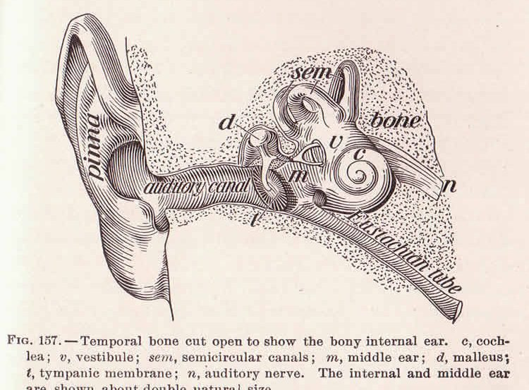 This image shows the anatomy of the ear. The image is labeled.