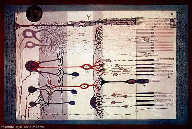 "This image shows Santiago Ramon y Cajal's ""Structure of the Mammalian Retina"" (circa 1900)."