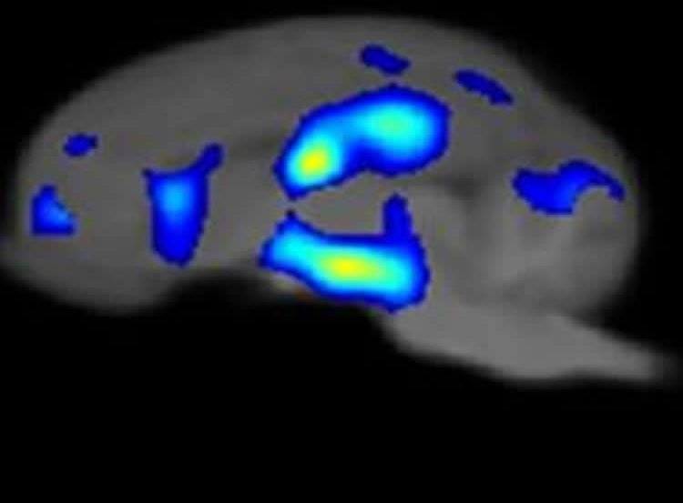 This image shows an MRI scan of a piglet's brain.