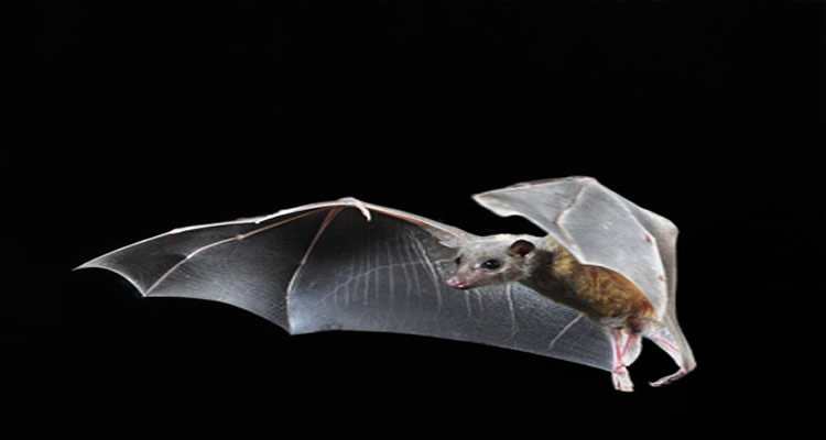 The image shows a bat in flight.