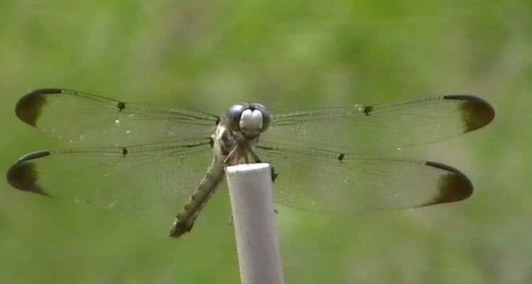 The image is a photo of a dragonfly.