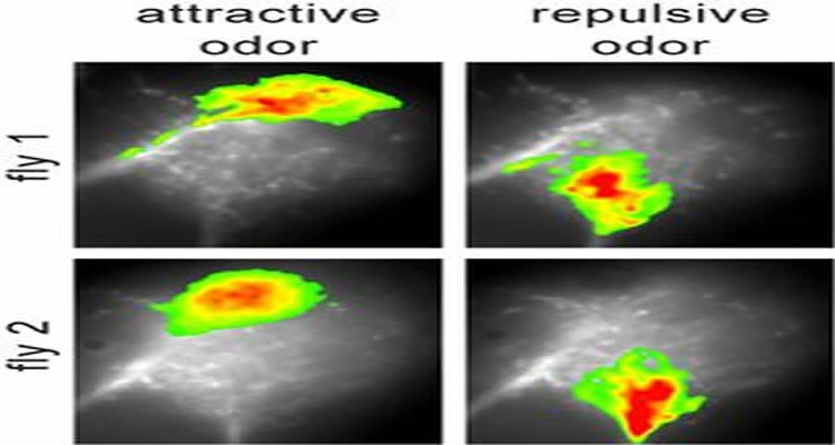 The collection of neuroimaging photos shows how the odors affect areas of the lateral horn.