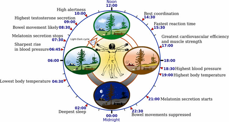 This is a diagram of how the circadian clock affects the rhythm of physiological processes.
