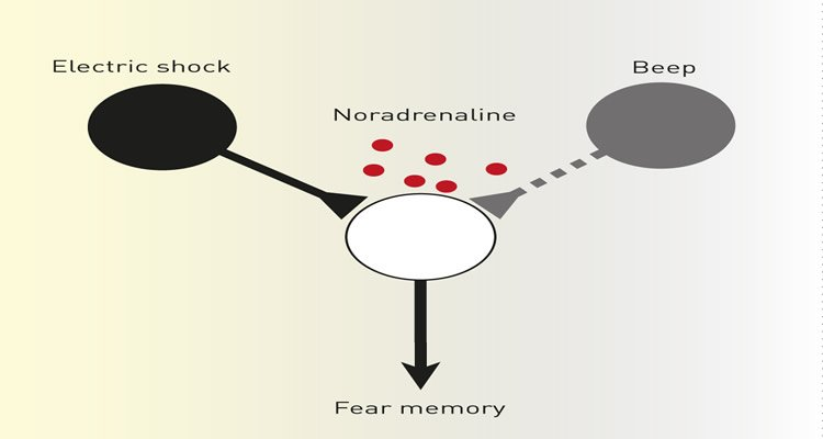 The image shows the flow of the stimuli to the fear memory output.