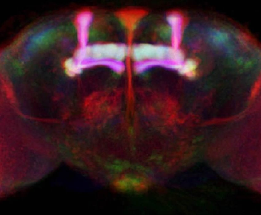 This image shows the mushroom bodies visible in a Drosophila brain as two stalks.