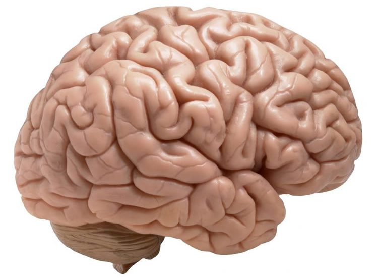 This image shows a model of a human brain.