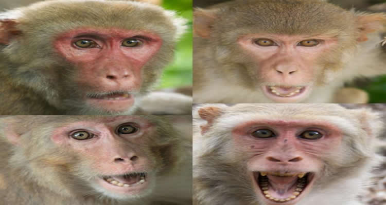 This image shows a four images of monkey faces.