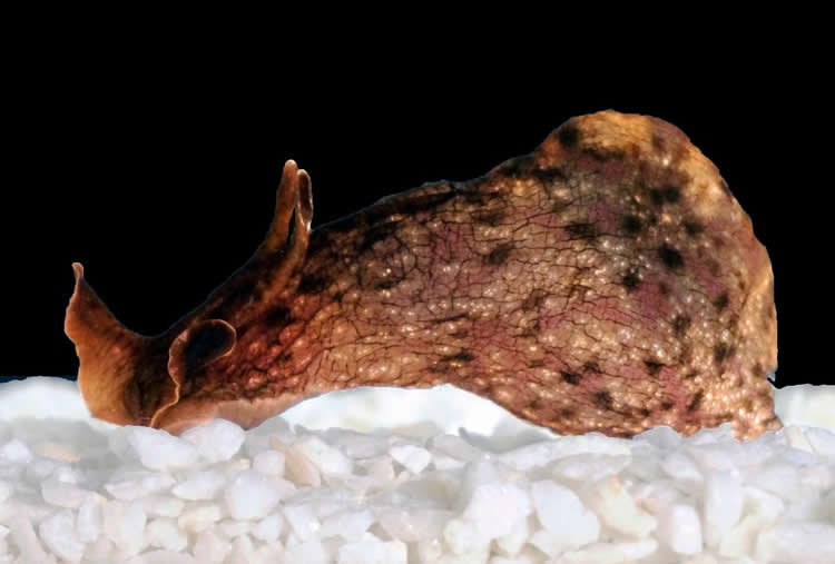 This is the sea slug Aplysia.