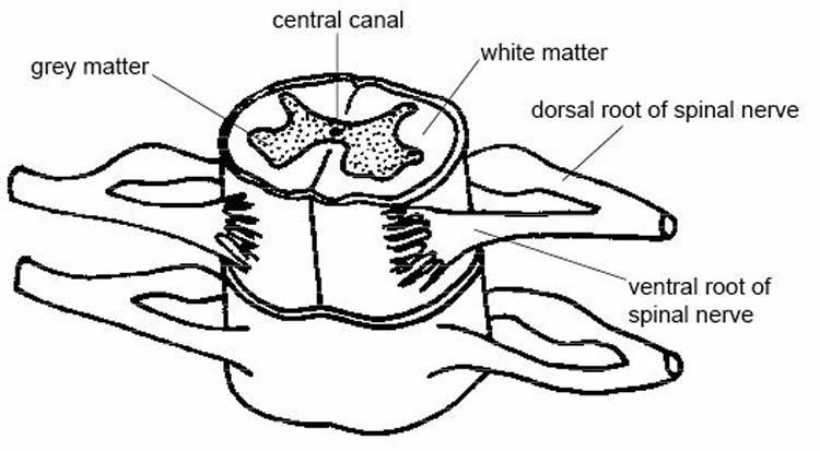 This image shows the anatomy of the spinal cord.