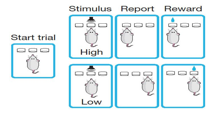 This is an illustration shows how the rats were used in this study.
