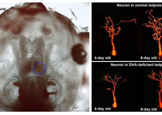 Deficiencies of fish oil fatty acids can limit brain for Fish oil concussion