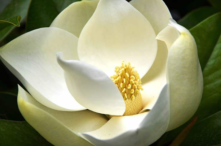 This image shows a Magnolia grandiflora.