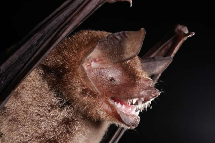 This shows a mustached bat.
