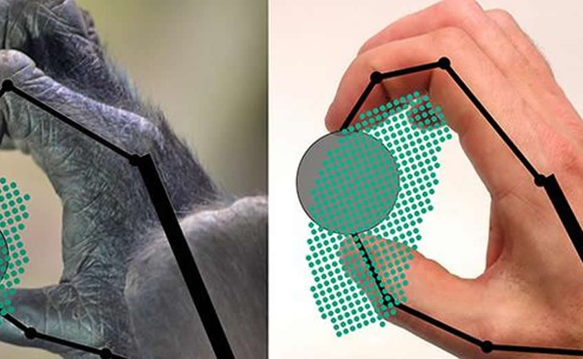 This shows how a gorilla and human grip an object.