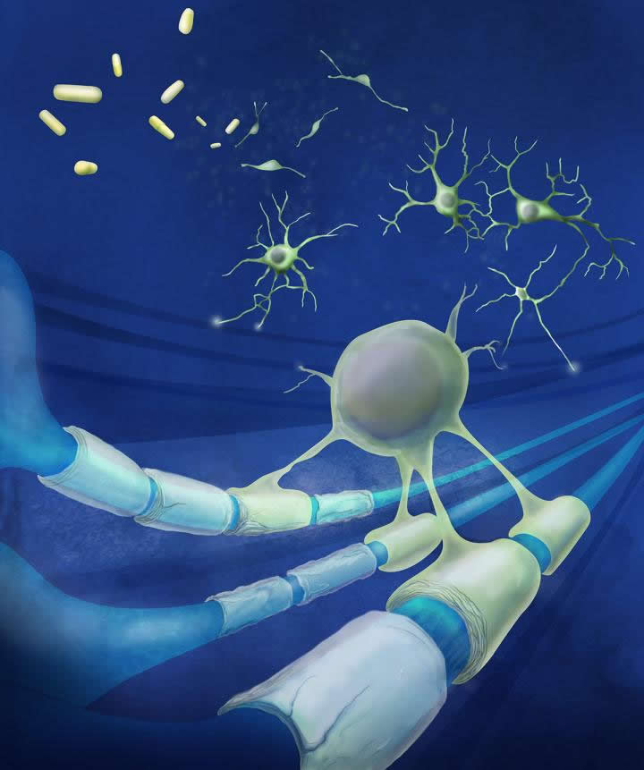This illustrates the remyelination in the mouse model of MS.