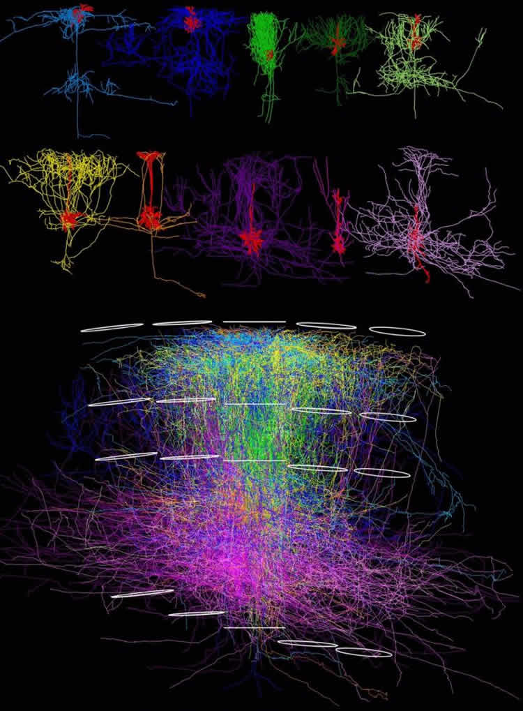 This shows the a 3d model of neurons in a rat's sensory cortex.