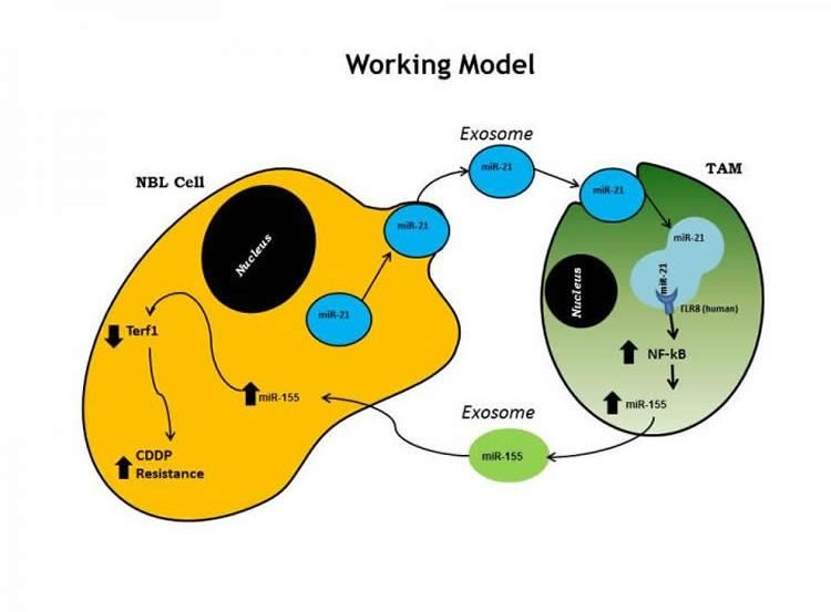 This shows the inter-cellular cross-talk in model of neuroblastoma.