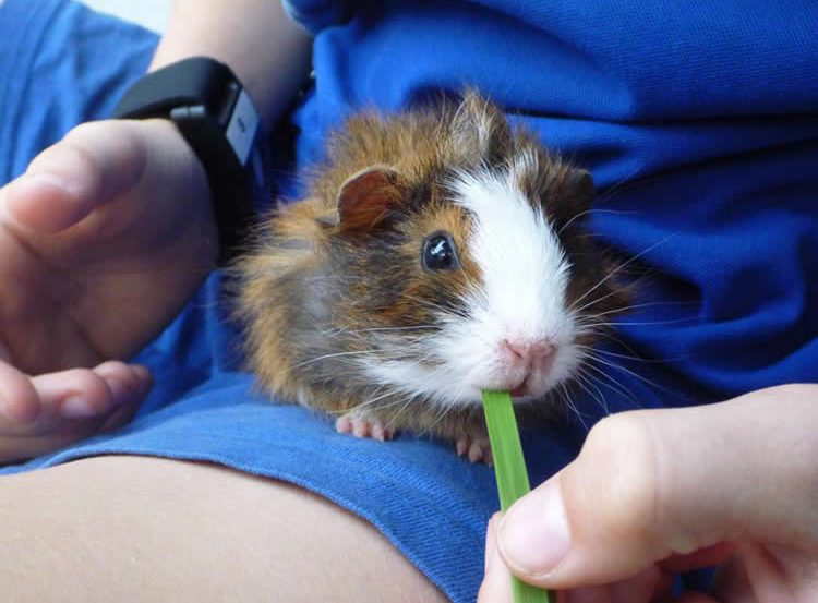 This image shows a guinea pig.
