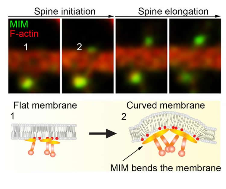 This image shows time frames of MIM and F-actin dynamics during initiation of dendritic spine.