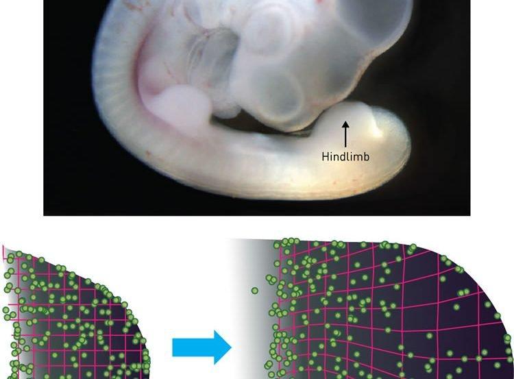 Image shows a chicken embryo.
