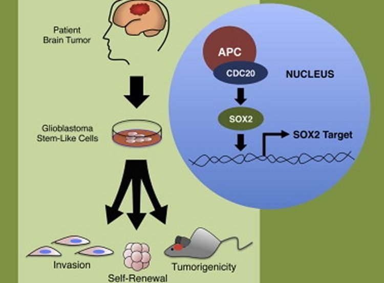 This image shows a diagram of the cascade of how researchers targeted the stem cells.