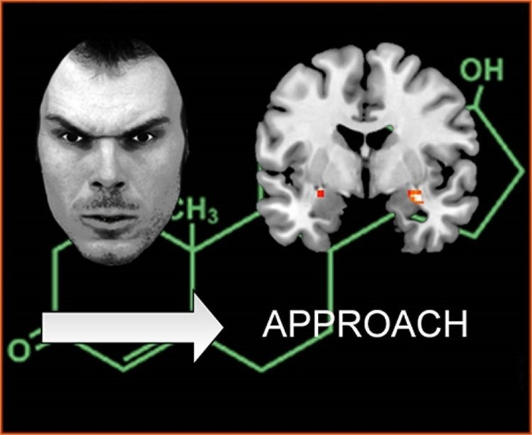 This image shows a person's face, the chemical structure of testosterone and the amygdala.