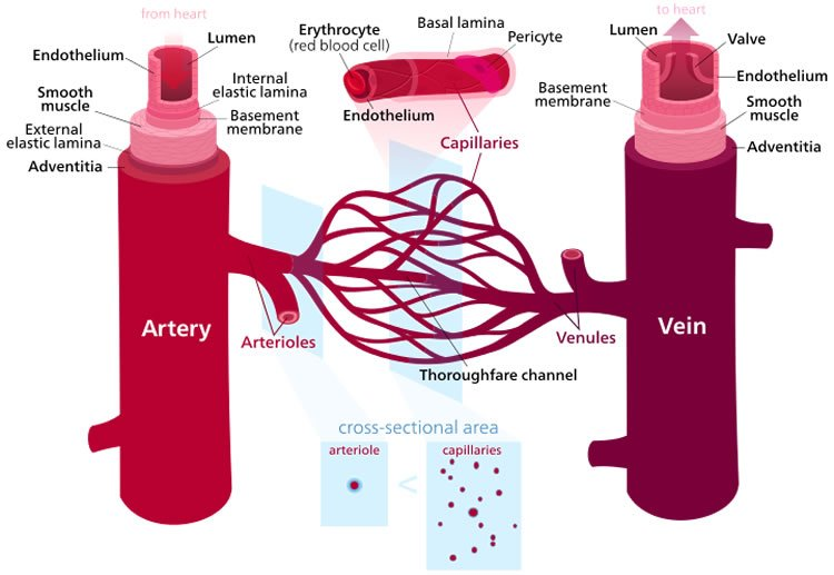 This image is a labelled diagram of blood vessels.