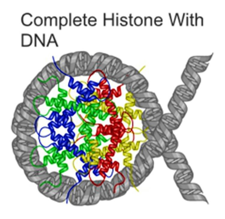 This image shows a complete histone with DNA. The caption best describes the image.