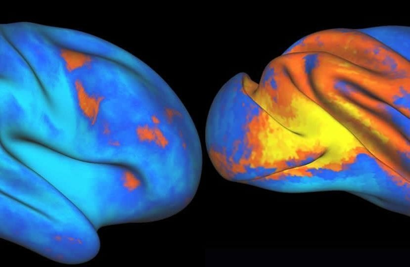 This image shows increased and decreased activity of neural activity in the human and macaque brains.