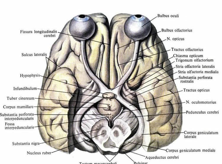 This image shows the visual system in the brain.