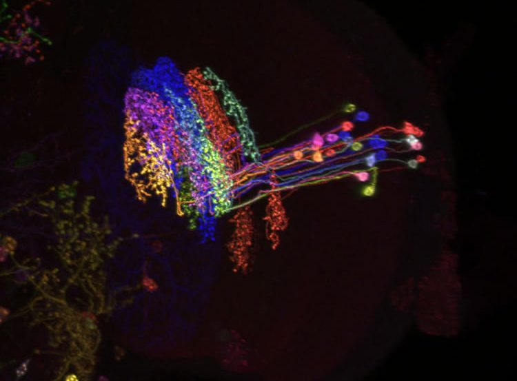 This image shows the newly discovered neuron in rainbow colors.