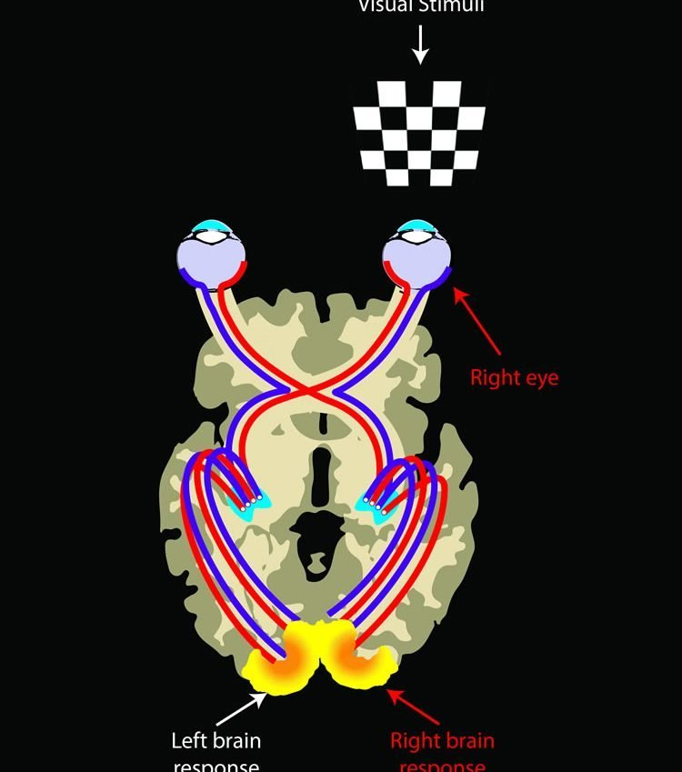 This image shows the visual system.