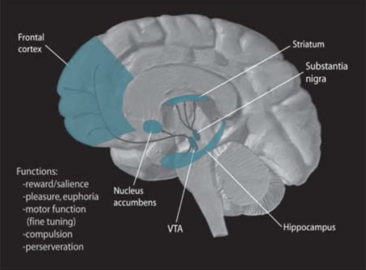 This image shows the anatomy to the VTA with the striatum, nucleus accumbens and substantia nigra labelled.