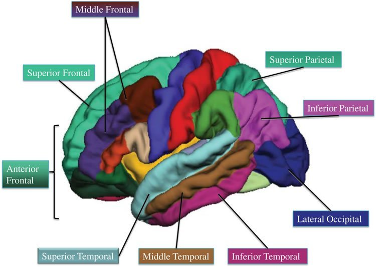 This image shows a brain with different regions highlighted.