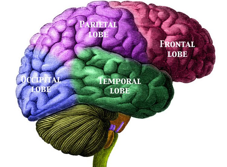 This shows the brain with the lobes labelled.