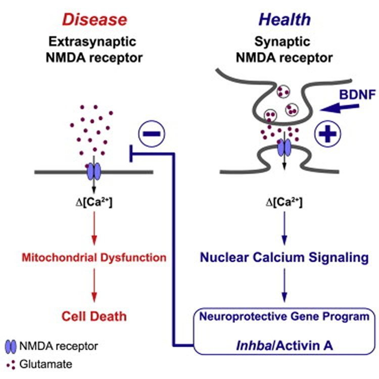 This diagram shows how a diseased and healthy NMDA receptor work.