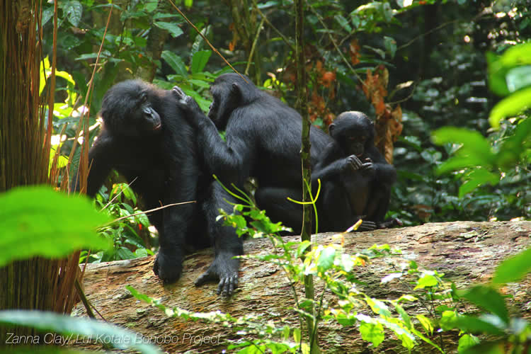 This shows a family of bonobo sitting in on a log.