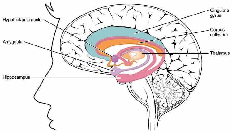 Ceci est un diagramme étiqueté du système limbique dans le cerveau.