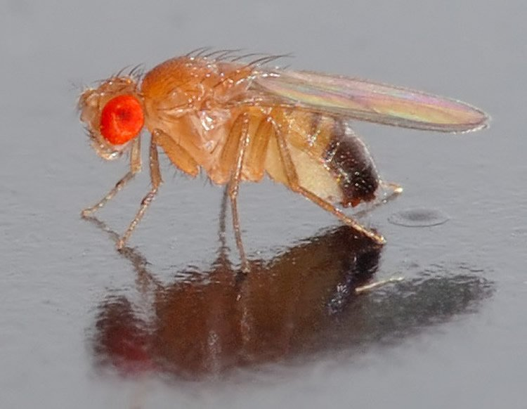 This shows a drosophila fruit fly.
